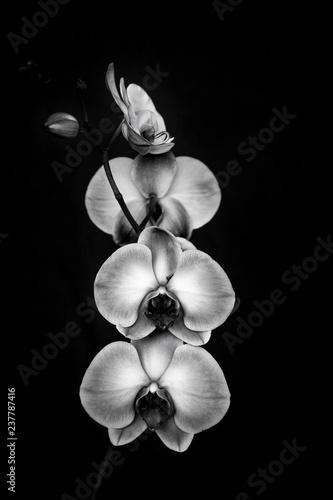 Orchid flower black & white - 237787416