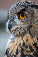 Owl closeup portrait, of bright eyes face and beak. nature photograph bird of prey hunting with feathers