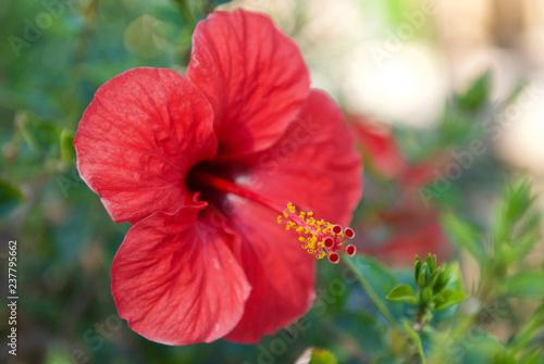 beautiful flowers of sinai close up - 237795662