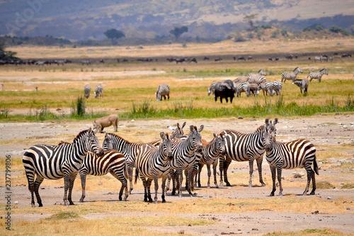 zebraherde mit anderen tieren ngorongoro krater - 237799806