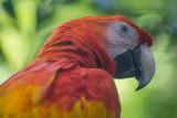 Perroquet rouge flamboyant de Colombie