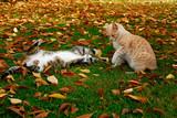 zwei spielende Hauskatzen im Herbstlaub - 237804873