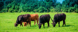 Group of cows in grassland panorama