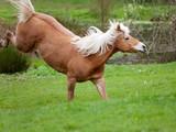 Haflinger Pferd frei auf der Wiese rennt und buckelt