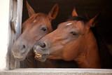 Pferde Freunde im Stall schauen aus dem Fenster