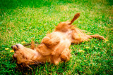 happy dog puppy as lying in the grass