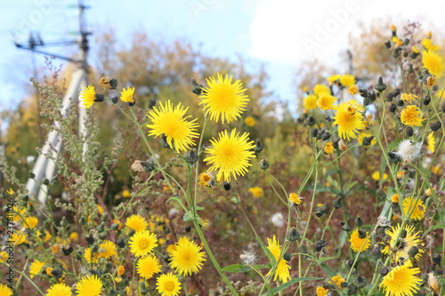 Resistant dandelions in the fall - 237811026