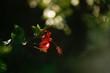 Ibisco vermelho e folhas verdes lembrando natal