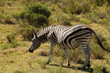 Burchell's Zebra mare heavily pregnant with large belly.