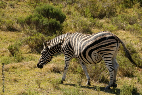 Burchell's Zebra mare heavily pregnant with large belly. - 237819864