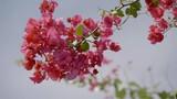 Pink bougainvillea close up - 237831849