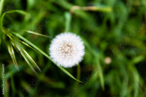 Dandelion on the field - 237848497