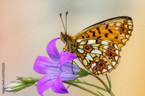 The small pearl-bordered fritillary (Boloria selene) - 237852228