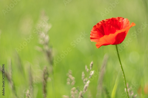 Poppies, in the late spring you can see them everywhere, in small quantities or on immense fields. - 237854496