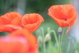 Poppies, in the late spring you can see them everywhere, in small quantities or on immense fields.