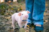 Little cute piglets