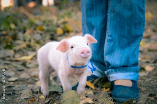 Little cute piglets - 237873048