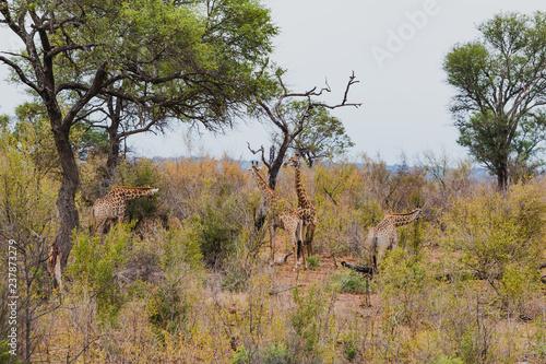 Plakat Giraffen beim Fressen im Krüger Nationalpark in Südafrika
