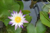 Violet White Nilumbo Nucifera Lotus Flower in the water pool