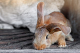 eared red rabbits live in a cage with hay. Farm Animal breeding for sale - 237913406
