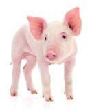 Pig on white. - 237914255