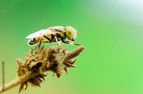 Hoverfly - 237917249