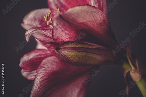 blühende Amaryllis im Studiolicht mit dunklem Hintergrund, - 237926639