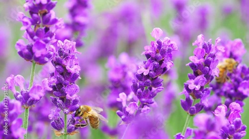 Bees on bright lavender flowers at the field.