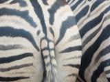 Zebra ass, butt of zebra, fat hip.