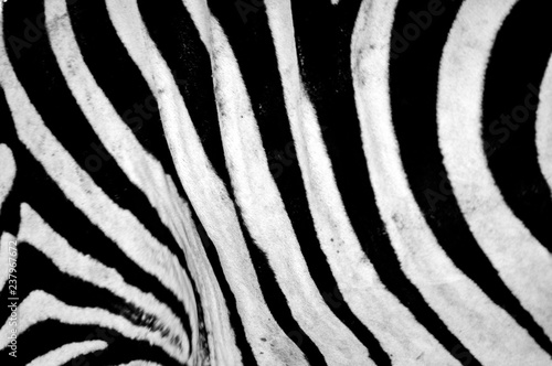 Black and white stripes, patterns and textures of a Zebra