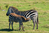 Zebra Foal - 237968204