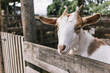 Young white and brown goat portrait in a farm