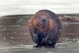funny brown american beaver (castor genus) sits on the shore of a frozen lake in winter - 238019253