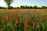 flower field with poppies in summer