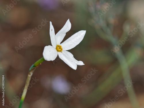 Narcissus serotinus, Crete  - 238029884