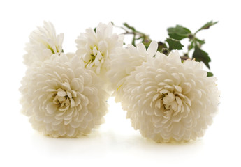Bouquet of white chrysanthemums.