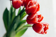 Red tulips on white background. Celebration of woman's day