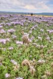 Sommerwiese mit Bienenweide