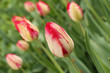 Pink with white tulips against green grass background