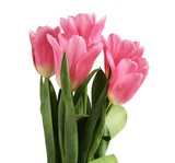 Bouquet of five pink tulip flowers isolated on white background