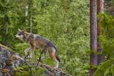 wolf on trip - 238054448