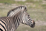 Close up of a young zebra standing on the grassland of the Okavango Delta in Botswana © Lori Labrecque