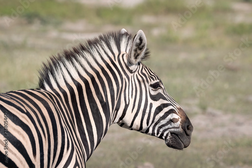 Close up of a young zebra standing on the grassland of the Okavango Delta in Botswana