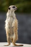Alles bijhouden - meerkat - 238082671
