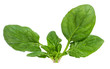 .Spinach Isolated on a white background.
