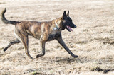 Dutch Shepherd or Belgian Malinois running with collar and tags - 238097872