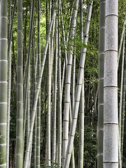 bamboo forest background © Nicolai