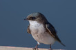 Tree swallow (Trachycineta bicolor).