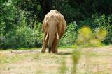 Eléphant d'Afrique - 238132421