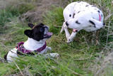 Two puppies dogs playing in the field at sunset, of the French bulldog and Dalmatian breed.